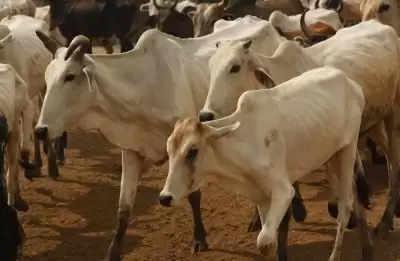 रामनगरी अयोध्या में आत्मनिर्भता की नजीर बनेगी कान्हा गौशाला