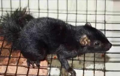 केरल के शोधकर्ताओं ने उपमहाद्वीप की पहली काली गिलहरी का दस्तावेज बनाया